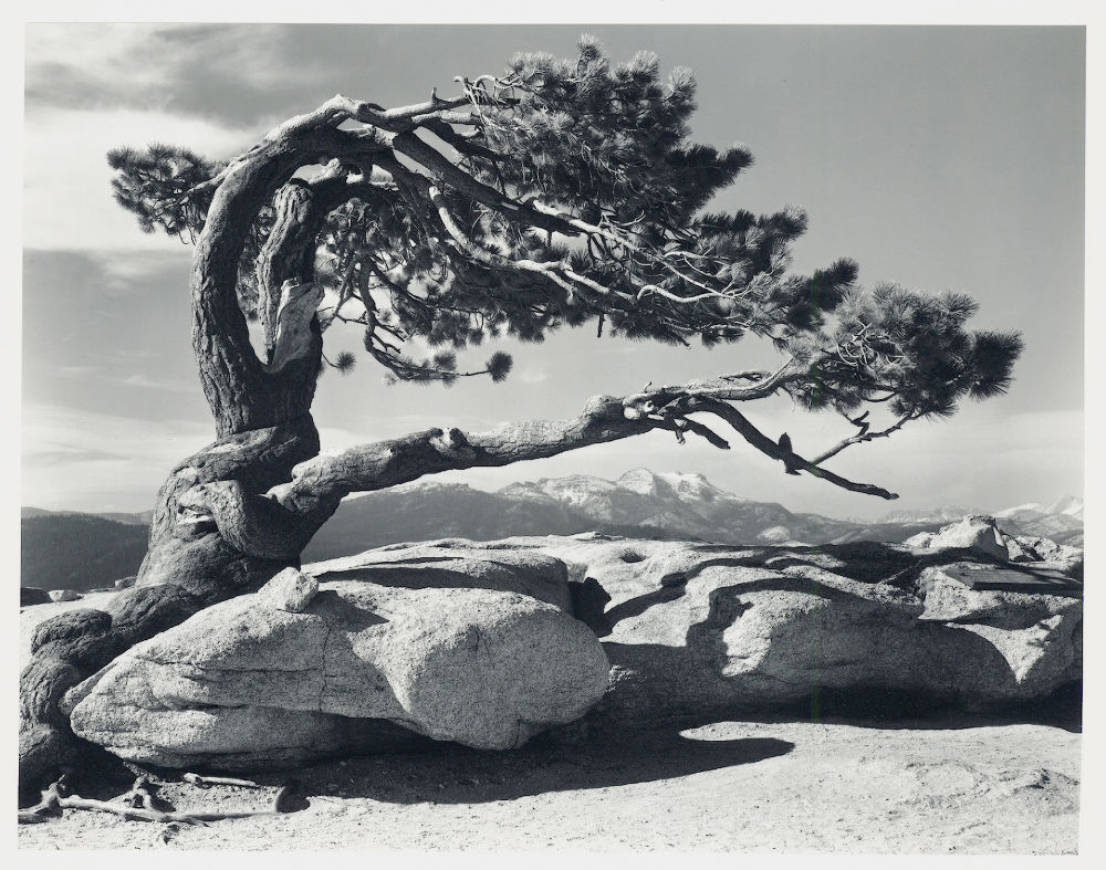 "S-0032, Ansel Adams, ""Jeffrey Pine, Sentinel Dome, Yosemite National Park, California"", 1940"