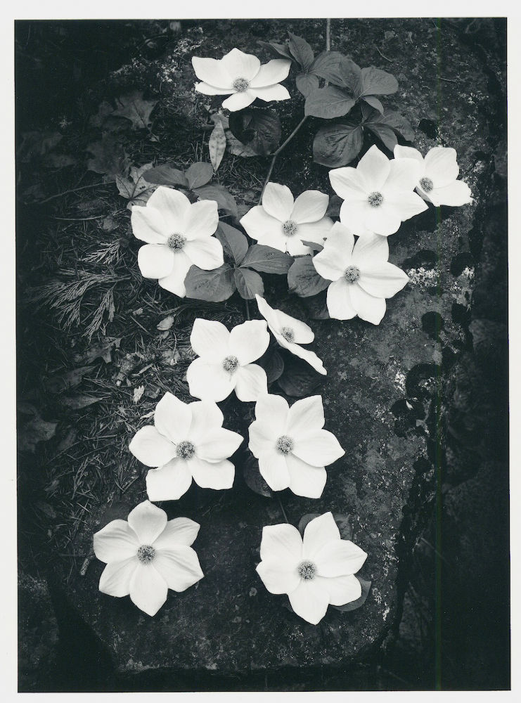 "S-0033, Ansel Adams, ""Dogwood, Yosemite National Park, California"", 1938"