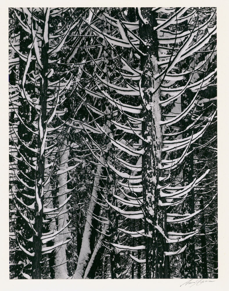 "S-0195, Ansel Adams, ""Winter Forest Detail"", 1949"