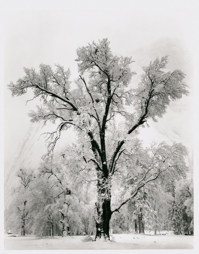 "S-0225, Ansel Adams, ""Oaktree, Snowstorm, Yosemite National Park, California"", 1948"